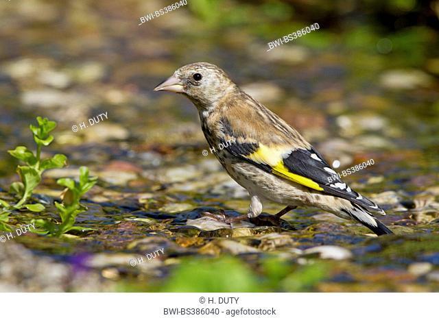 Eurasian goldfinch (Carduelis carduelis), juvenile at brook, Germany, Mecklenburg-Western Pomerania