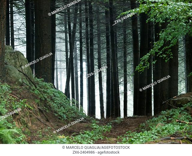 European silver fir forest (Abies alba). Montseny Natural Park. Barcelona province, Catalonia, Spain