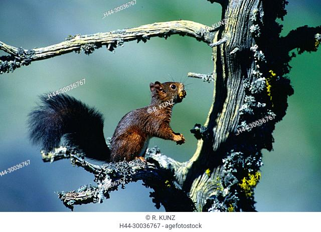 Red Squirrel, Sciurus vulgaris, Sciuridae, rodent, mammal, animal, Zervreila, Alps, Vals, Canton of Graubünden, Switzerland