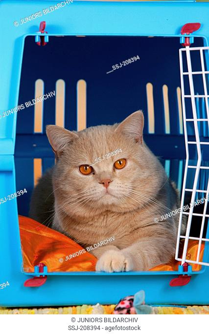 British Shorthair cat in a pet carrier. Germany