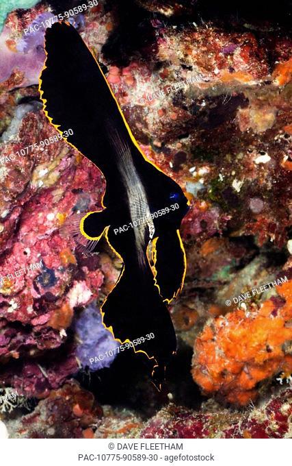 Philippines, Juvenile Longfin Batfish Platax pinnatus