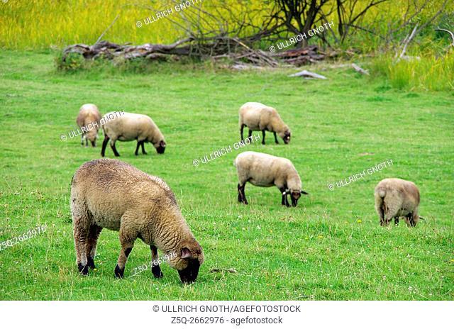 A flock of grazing sheep