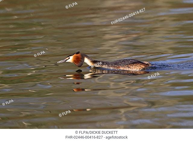 Great Crested Grebe Podiceps cristatus adult, swimming in threatening posture, River Thames, Henley-on-Thames, Thames Valley, Oxfordshire, England, april
