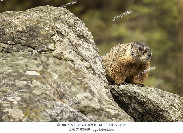 Yellow-Bellied Marmot (Marmota flaviventris). Yellowstone National Park, USA