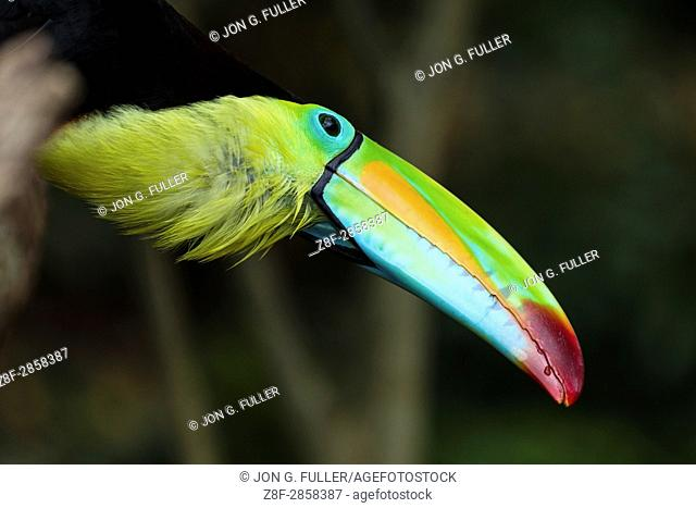 The Keel-billed Toucan, Sulfur-breasted Toucan or Rainbow-billed Toucan, Ramphastos sulfuratus, is the national bird of Belize