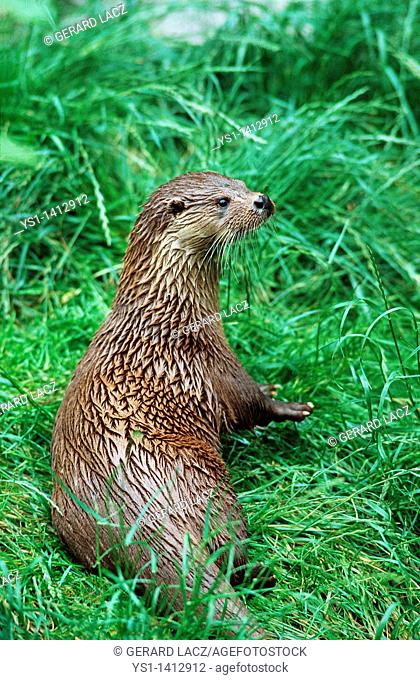 EUROPEAN OTTER lutra lutra, ADULT IN GRASS