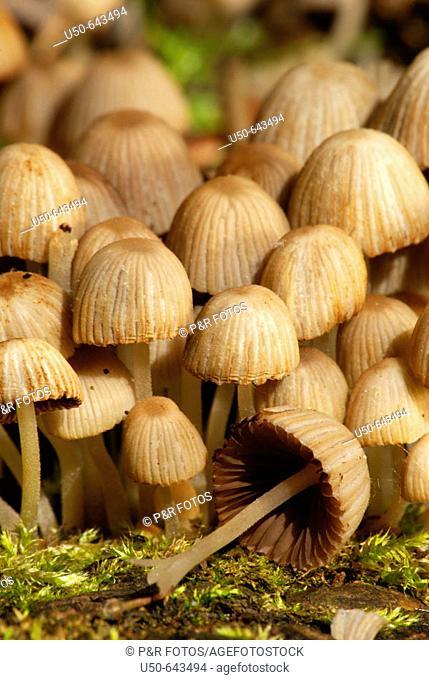 Coprinus disseminatus, Homobasidiomycetes, Agaricaceae, mushroom, Germany