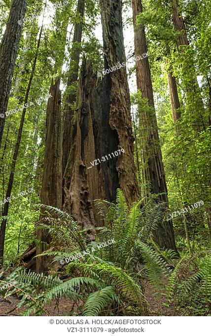 Hallow tree stump stands a monument to a fallen giant in Jedediah Smith Redwoods State Park, California, USA
