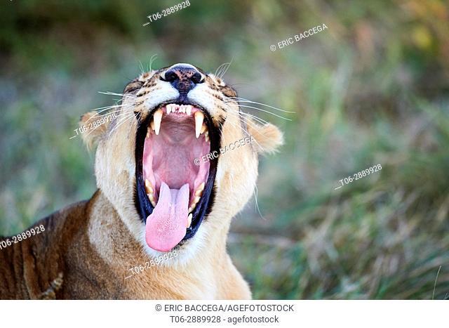 African lioness yawning (Panthera leo) Okavango Delta, Moremi National Park, Botswana
