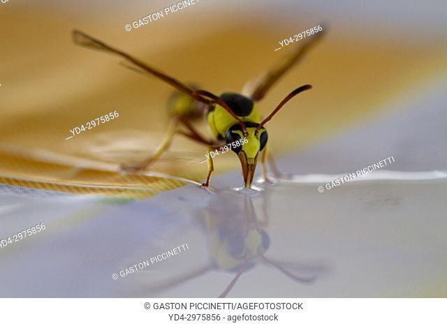 Social Wasps (Family vespidae), drinking water, Mabuasehube, Kgalagadi Transfrontier Park, Kalahari desert, South Africa
