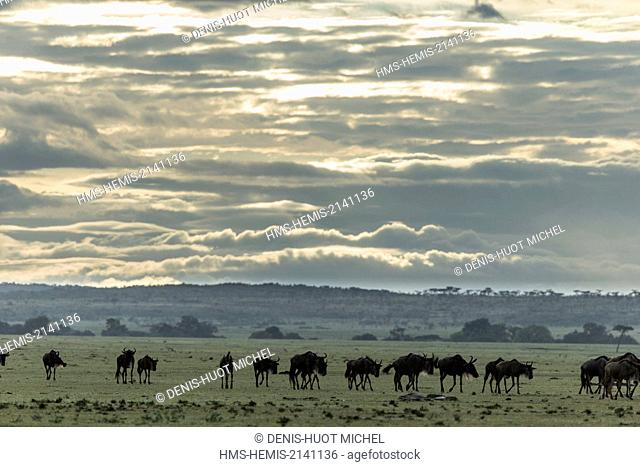 Kenya, Masai Mara game Reserve, wildebeest (Connochaetes taurinus), herd of migration
