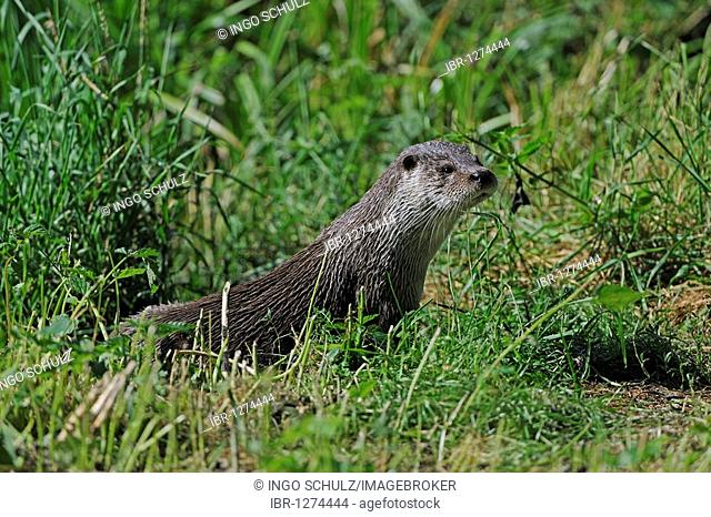 European Otter (Lutra lutra) in a natural environment, Brandenburg, Germany, Europe