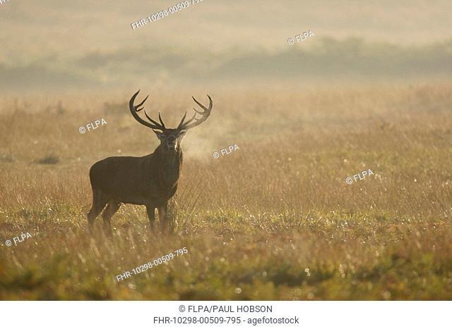 Red Deer Cervus elaphus stag, roaring, during rut, Bradgate Park, Leicestershire, England, autumn