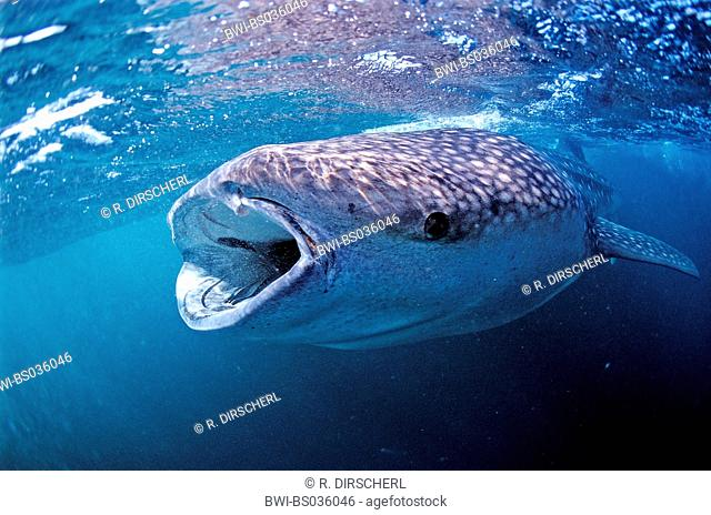 whale shark (Rhincodon typus), with wide opened mouth, largest fish of the world, Djibouti, Golf von Aden
