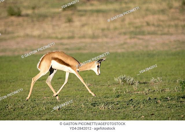 Springbok (Antidorcas marsupialis), Kgalagadi Transfrontier Park in rainy season, Kalhari Desert, South Africa/Botswana