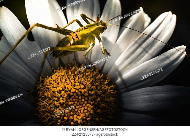 Flora and fauna horizontal close-up on a small green Australian grasshopper standing on the stamen on a yellow daisy flowers. Spring concept