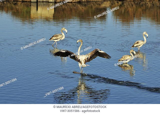 Flamingos (Phoenicopterus roseus) in the salt pans of the Sado Estuary Nature Reserve. Portugal