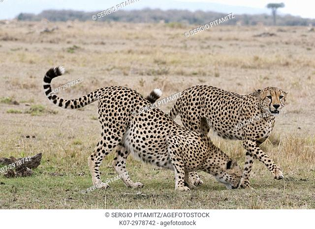 Cheetah (Acinonyx jubatus), Masai Mara, Kenya
