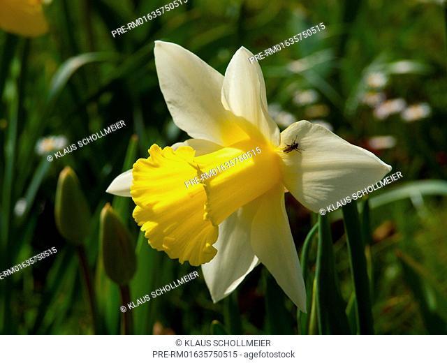Daffodil, Narcissus pseudonarcissus / Osterglocke, Narcissus pseudonarcissus