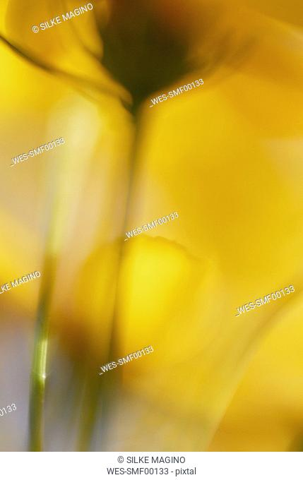 Coreopsis, close-up