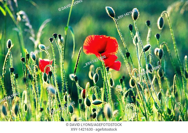 Red poppy poppies flowers wildflowers and buds growing in grass meadow field  Papaver rhoeas