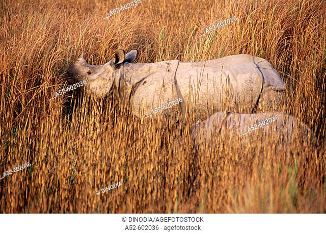 Indian One-horned Rhino (Rhinoceros unicornis). Dudhwa National Park. Uttar Pradesh. India