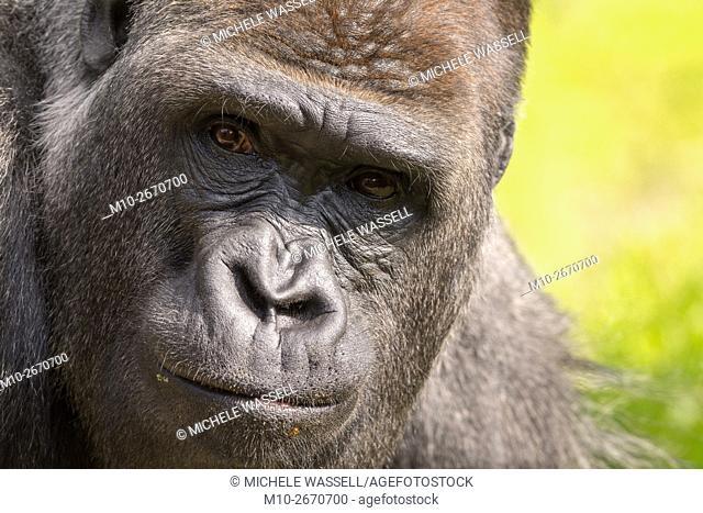 Close-up of a Silverback Gorilla in North America, USA