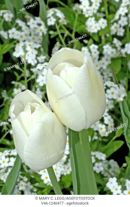 Two white tulips in a bed of white forget-me-nots