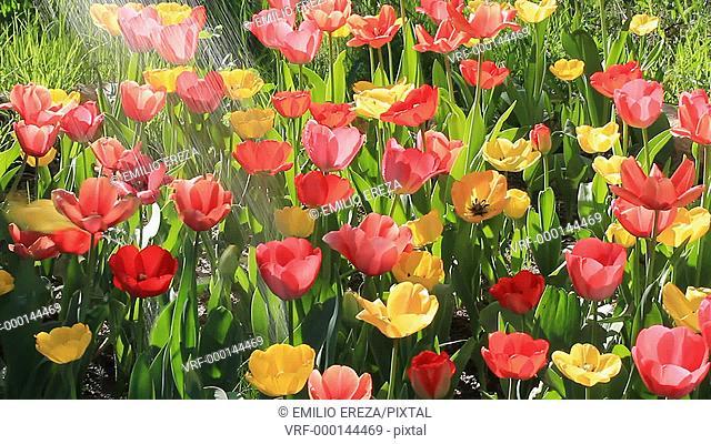 Watering tulips Tulipa hybr