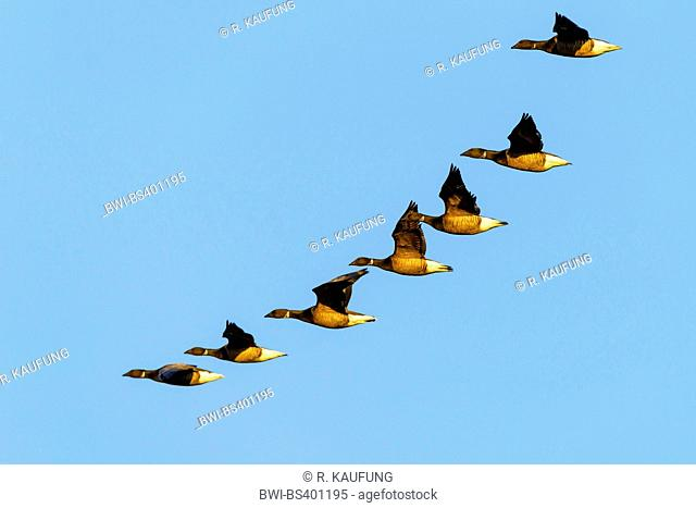 brent goose (Branta bernicla), flock in flight, Netherlands