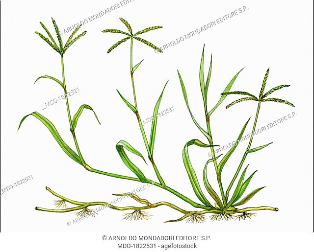 Bermuda grass (Cynolon dactylon), by Giglioli E., 20th Century, ink and watercolour on paper. Whole artwork view. Drawing of the plant and the flower of Bermuda...
