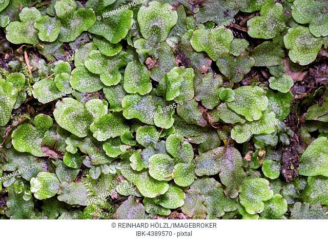 Great scented liverwort (Conocephalum conicum), Styria, Austria