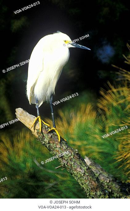 Great white Egret, Assateague National Wildlife Refuge, MD