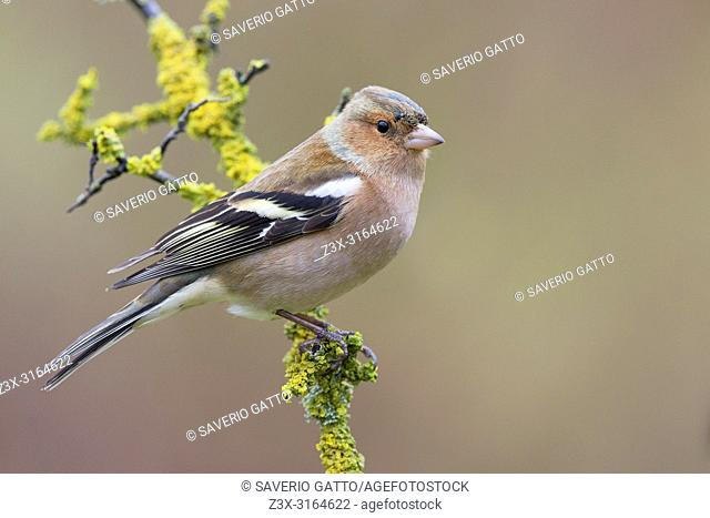 Common Chaffinch, Adult male standing on a branch, Tuscany, Italy (Fringilla coelebs)