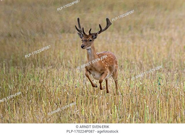 Young fallow deer (Dama dama) buck with antlers covered in velvet running over stubble field in summer