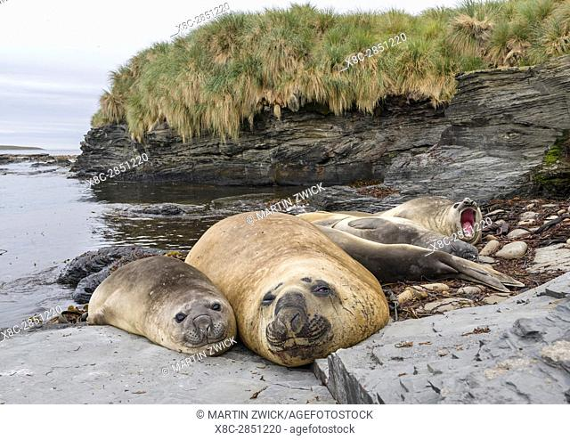 Southern elephant seal (Mirounga leonina), male, after breeding period on the Falkland Islands. South America, Falkland Islands, January