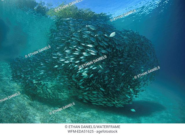 Shoal of Oxeye Scad, Selar boops, Florida Islands, Solomon Islands