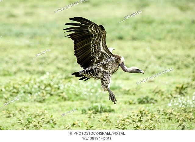 Ruppell's vulture (Gyps rueppellii) landing. This large vulture, also known as Rupell's Griffon, inhabits arid and semi-arid parts of central Africa