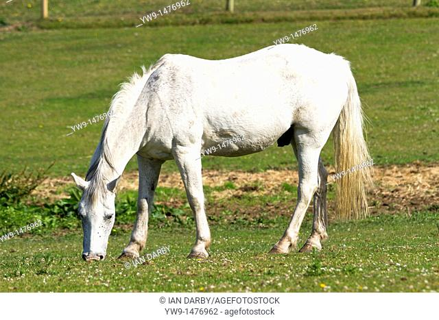 White horse grazing in a field
