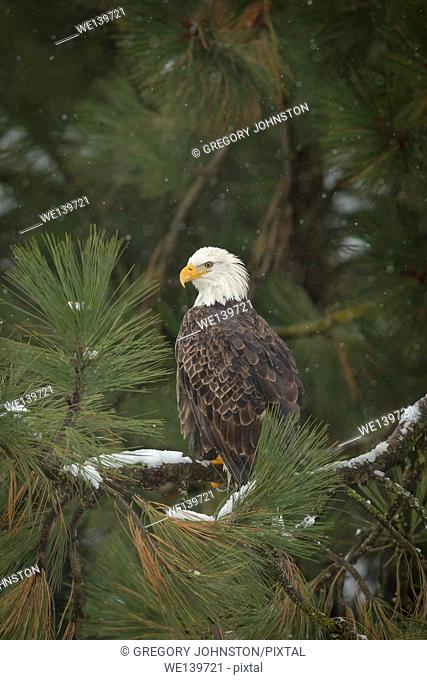 A majestic bald eagle is perched on a tree covered with snow near Coeur d'Alene, Idaho