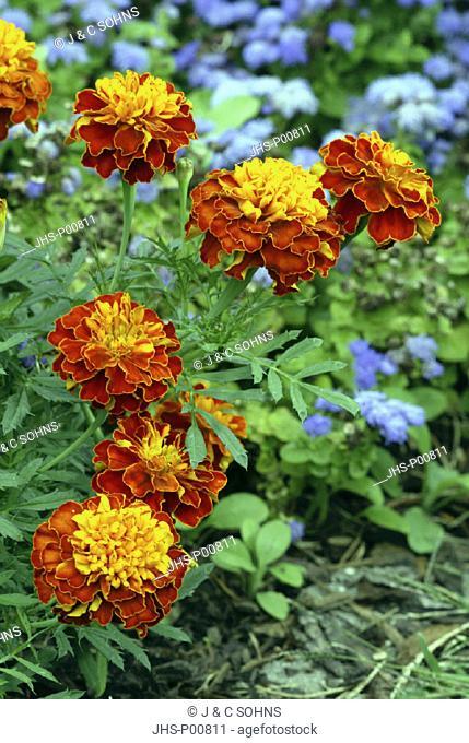 Marigold, Tagetes, Germany, bloom