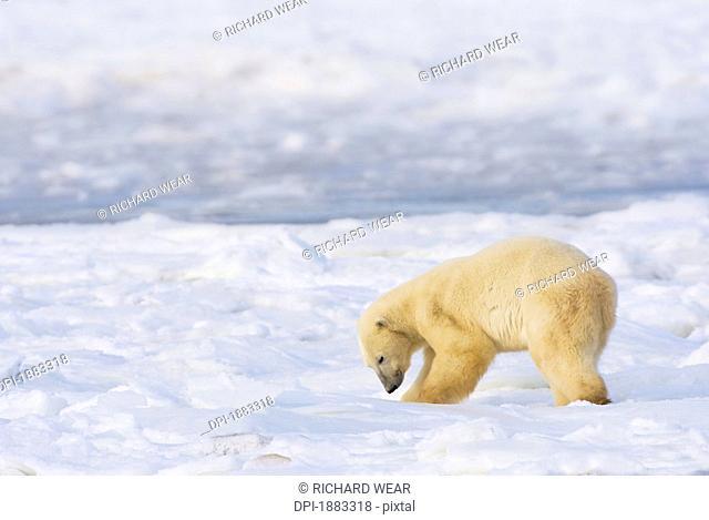 Polar Bear Ursus Maritimus Being Curious And Exploring Territory For Food, Churchill, Manitoba, Canada