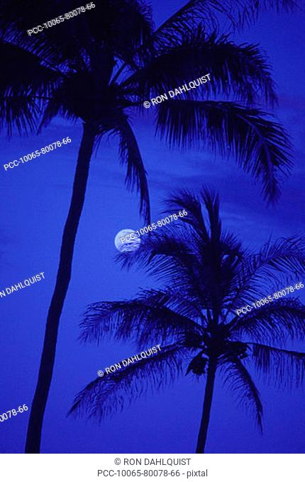 Two tall palm trees with moon, darkening blue sky