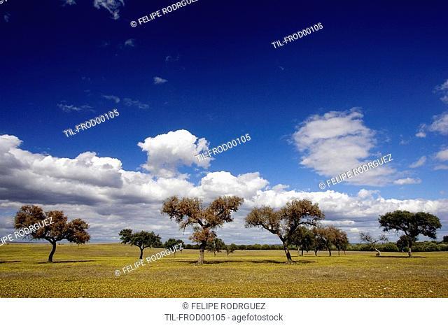 Holm oaks, Andalusia, Spain