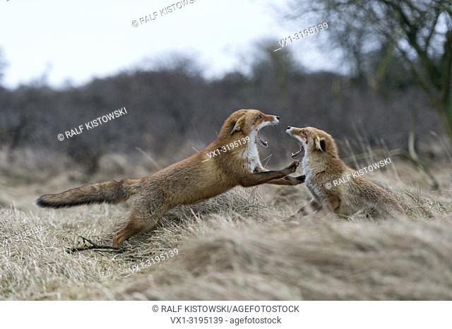 Red Foxes (Vulpes vulpes) in aggressive fight, fighting, threatening with wide open jaws, attacking each other