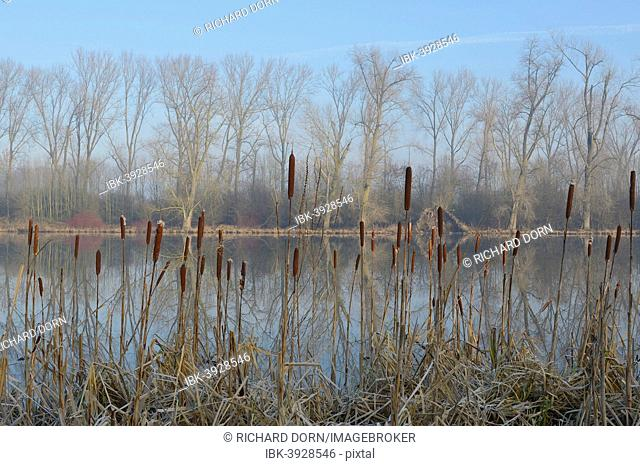 Cattail or Bulrush (Typha latifolia), meander of the Rhine near Frost, Xanten, Lower Rhine, Germany