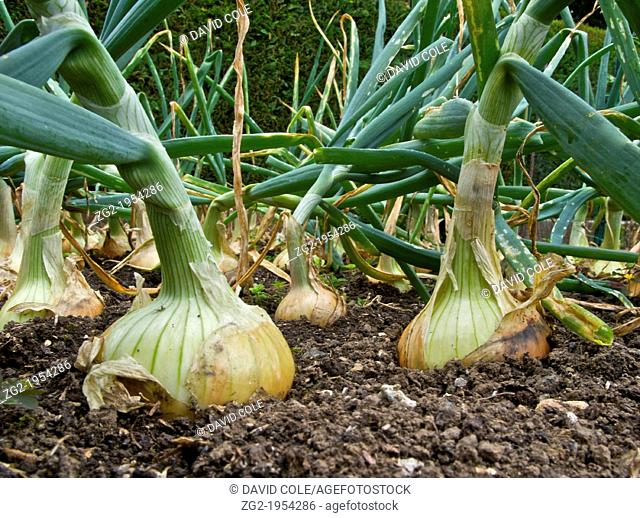 An onion crop in a vegetable garden