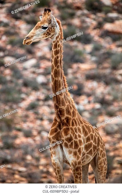Giraffe (Giraffa camelopardalis), Touws River, Western Cape, South Africa