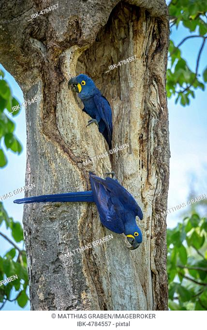 Hyacinth macaws (Anodorhynchus hyacinthinus) at breeding cave in the tree trunk, Pantanal, Mato Grosso do Sul, Brazil