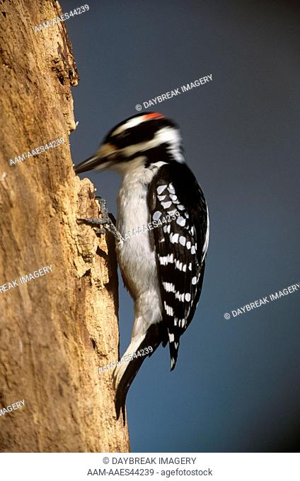 Hairy Woodpecker (Picoides villosus) Male, Illinois USA